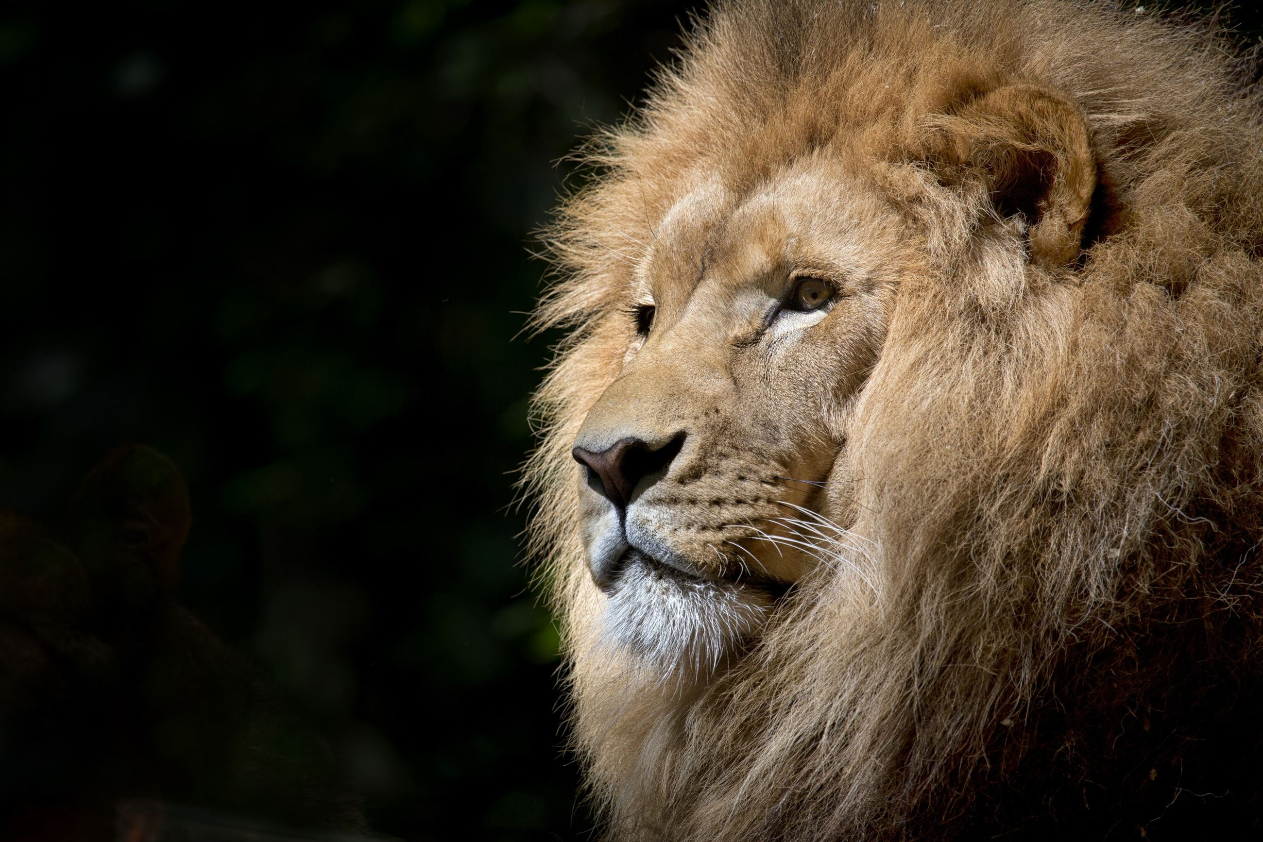 animal-africa-zoo-lion-33045